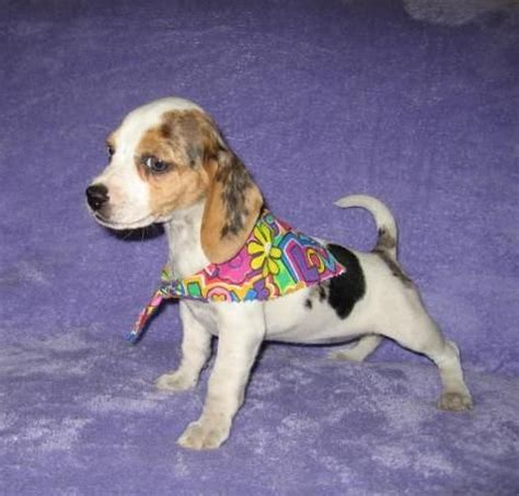 beagle puppies for sale in indiana elizabeth pocket beagle puppies the only recognized pocket beagles for sale