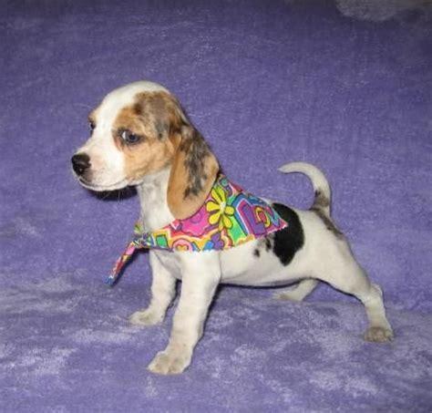 elizabeth pocket beagle puppies for sale elizabeth pocket beagle puppies the only recognized pocket beagles for sale