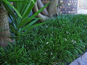 Examples Of Plant Diseases - ophiopogon