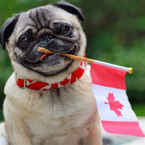 canada pug rescue igor pug on quot today canada s flag turns 50 pug proudcanadian canada