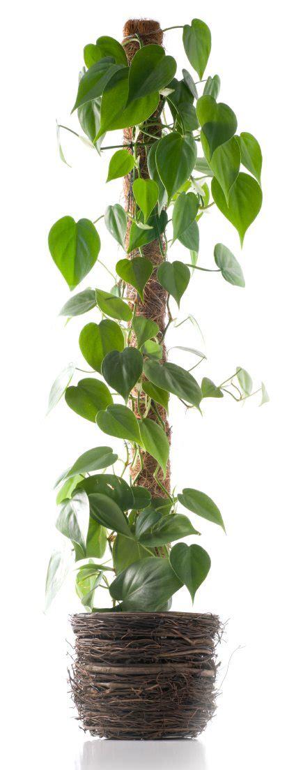 indoor vine plants how to support climbing houseplants indoors