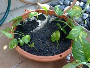 Money Tree Plant Diseases - tips for propagating houseplants with cuttings