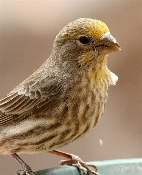 yellow house finch unusual birds feederwatch