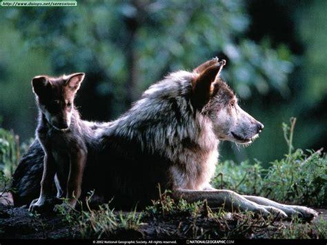 imagenes sorprendentes de lobos fotos de lobos i