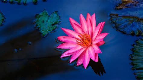 foto fiori di loto il fiore di loto e m 232 re wall international magazine