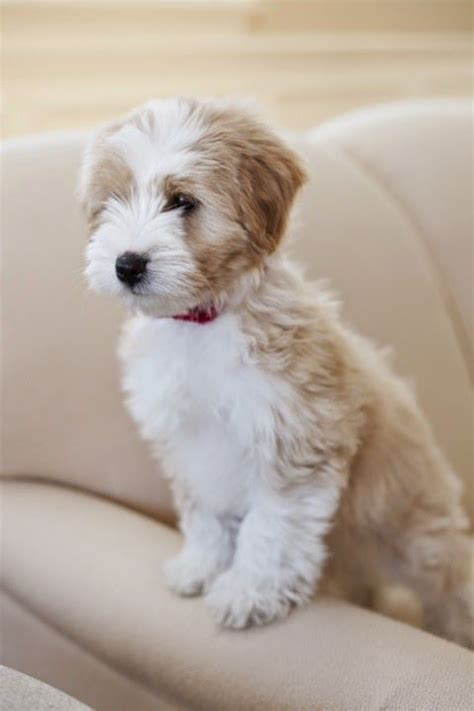 hair cuts for the tebelan terrier the tibetan terrier despite its name it is not a member