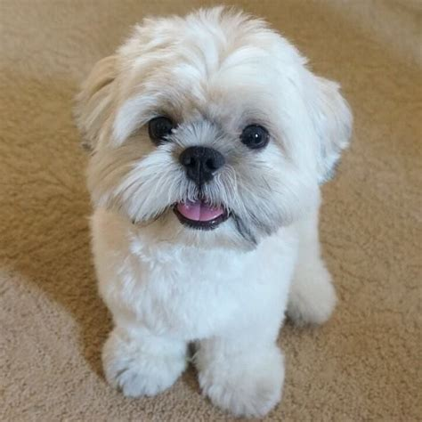 cute cuts for shih tzus 17 best images about shih tzu pugs on pinterest lhasa