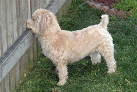 yorkie grown weight pin yorkie poo grown weight on