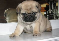 baby pugs for sale in pa 1000 ideas about baby pugs for sale on pugs for sale pugs for adoption