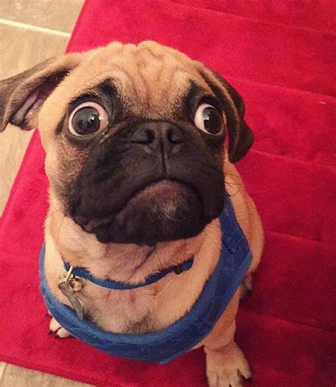 surprised pug 10 reasons why your pug is staring at you right now