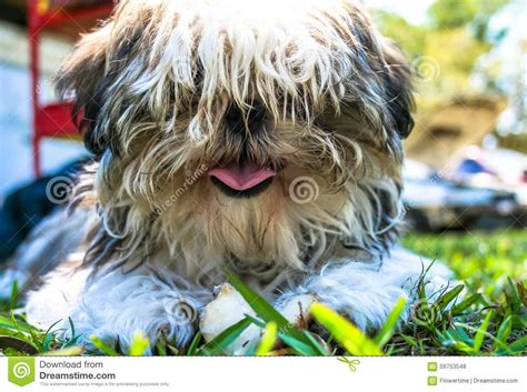 scruffy shih tzu fluffy shih tzu with pink tongue stock photo image 59753548