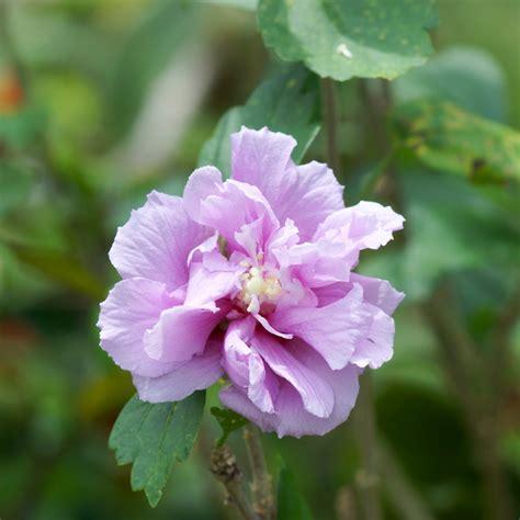 hibiskus im garten hibiskus im garten 187 10 gr 252 nde warum er nicht fehlen darf