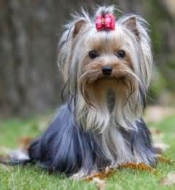 all things yorkie 779 best images about all things yorkie on