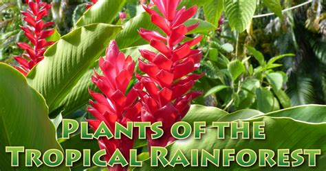 what plants live in tropical rainforest plants in the tropical rainforest pictures facts information
