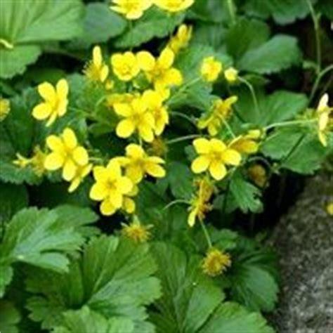 bloem die open gaat met schaduw 25 beste idee 235 n over gele bloemen op pinterest gele