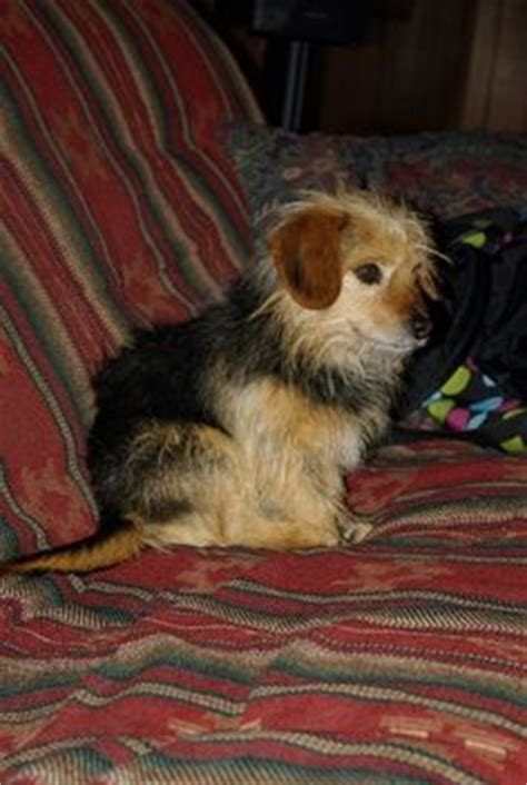 beagle yorkie mix tehya is a beagle yorkie mix animals yorkie and beagles