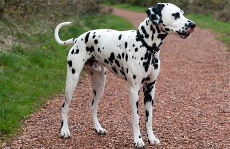 are dalmations dogs dalmatian breed history information and pictures pawculture
