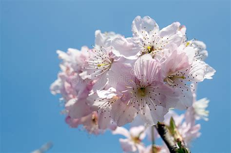fiori di ciliegia fiore di ciliegia immagine stock immagine di fragilit 224
