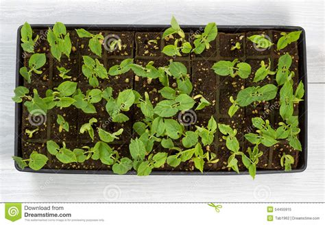 Green Bean Starter Plants Ready To Plant Outside In Garden Garden Ready Vegetable Plants