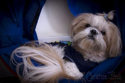 furever shih tzu rescue ohio not so wordless wednesday more than a mutt oh my shih tzu