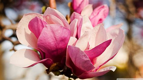 2560x1440 magnolia flowers bloom channel cover pink magnolia flower wallpaper 1920x1080