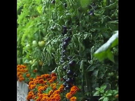 vegetable garden in front yard front yard vegetable garden