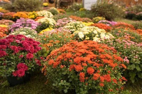 Chrysanthemen Vermehren by Chrysanthemen 187 Pflanzen Pflegen D 252 Ngen Und Mehr