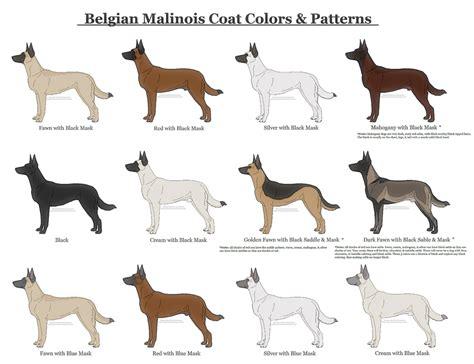 german shepherd coat colors belgian malinois coat colors and patterns by xlunastarx on
