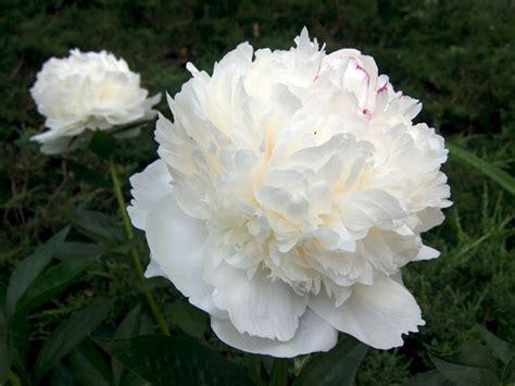 significato dei fiori peonia significato peonia significato dei fiori fiori peonia