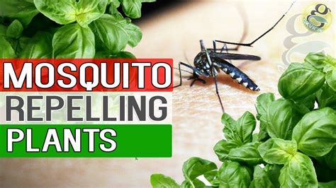 top mosquito repellent plants theindianspot mosquito repellent plants natural remedy for mosquitoes