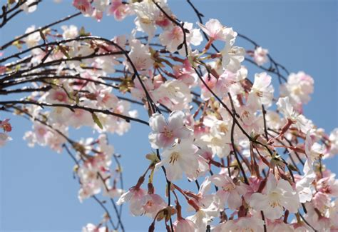 silk cherry blossom branches 58 quot