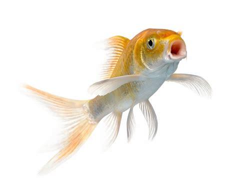 vasca pesce rosso capire se il pesce rosso sta una lista completa dei