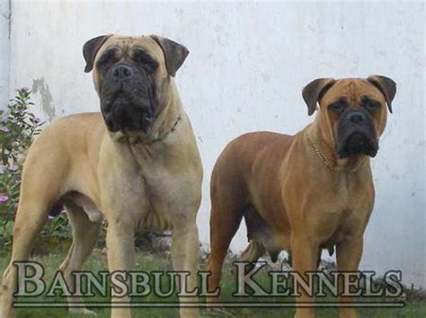 bullmastiff puppies price mastiff bull mastiff for sale in india bull mastiff price breeds picture