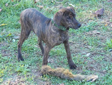 treeing tennessee brindle puppy treeing tennessee brindle breed info pics more