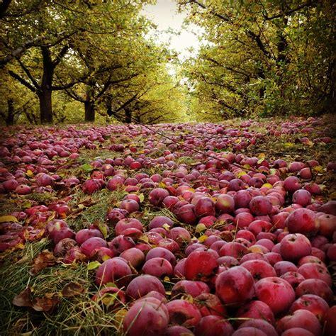 orchard washington apple orchards in washington apples