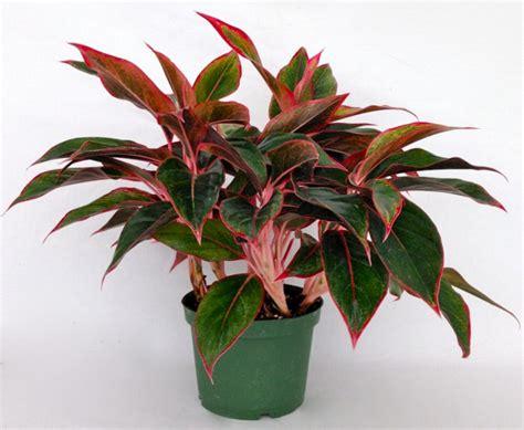 aneka jenis tanaman hias daun indoor  outdoor tanaman