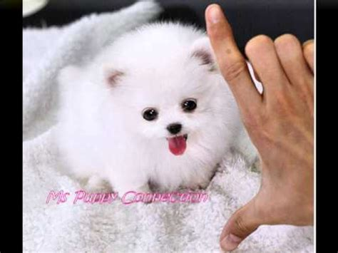 micro teacup pomeranian puppies for sale in mississippi tiny teacup pomeranian puppies for sale teacup pom puppies