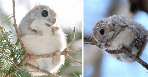 japanese  siberian flying squirrels