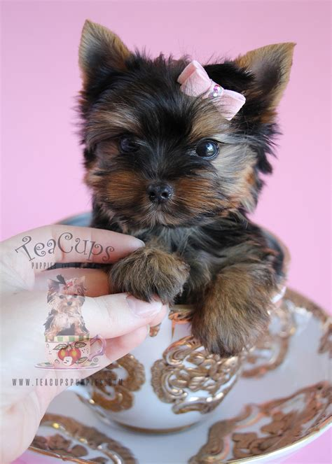 betty s teacup yorkies calgary teacup yorkies sale florida 90210 season 2