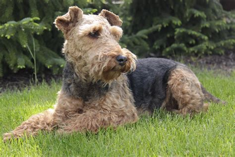 types of terrier dogs things on terrier vintage 70s and