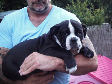 olde bulldog puppies blue bulldog x bulldog puppies swansea swansea pets4homes