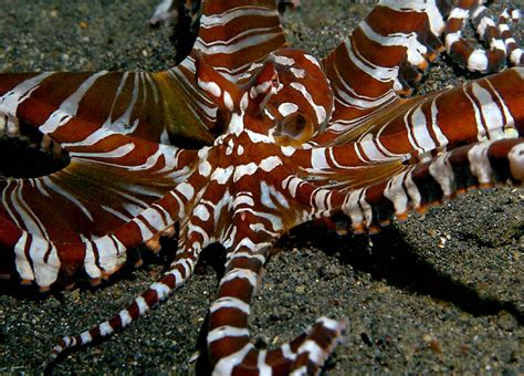 Mimic Octopus Pictures and Wallpapers   Fun Animals Wiki