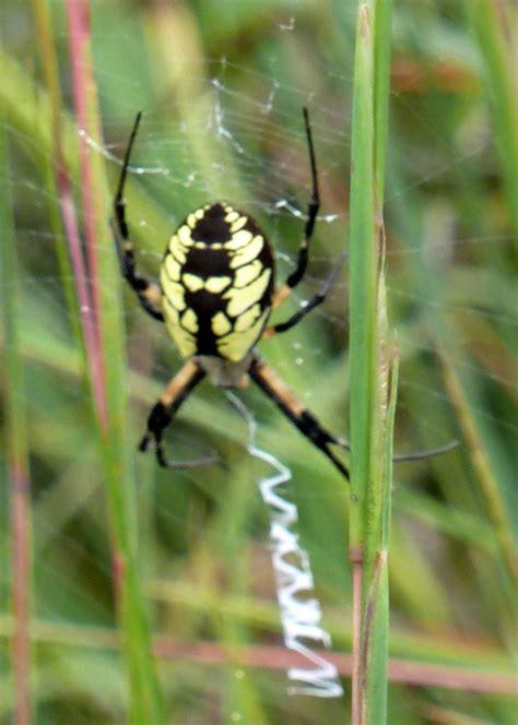 Garden Spider Mn penelopedia nature and garden in southern minnesota