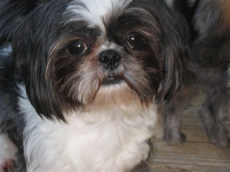 what is a shih tzu puppy shih tzu puppies georgiashihtzupuppies