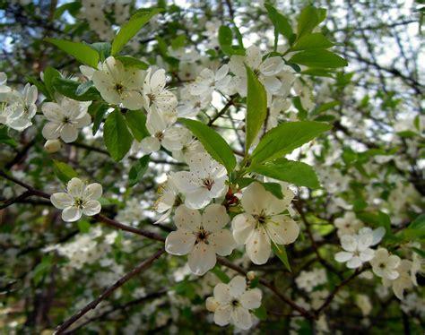 fiori di bach e menopausa fiori di bach in menopausa cherry plum menopausa