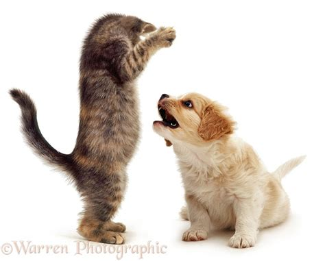 Pets: Kitten and puppy playing photo WP04171