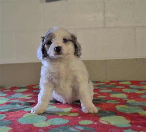 aussiedoodle puppies for sale nc sweet mini aussiedoodle puppies craigspets