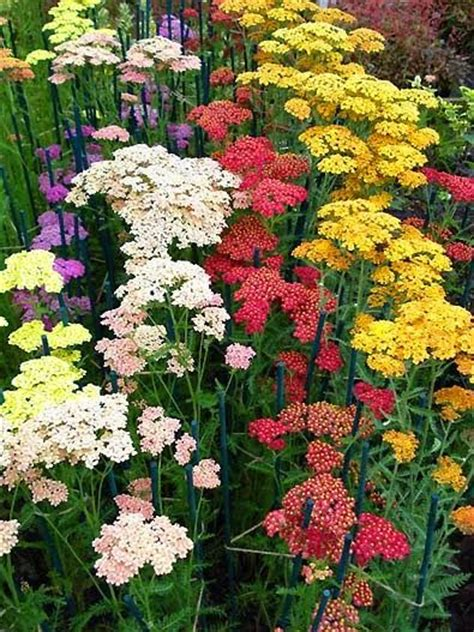 10ml yarrow chamazulene blue achillea 68 best images about plants that grow in sw colorado on
