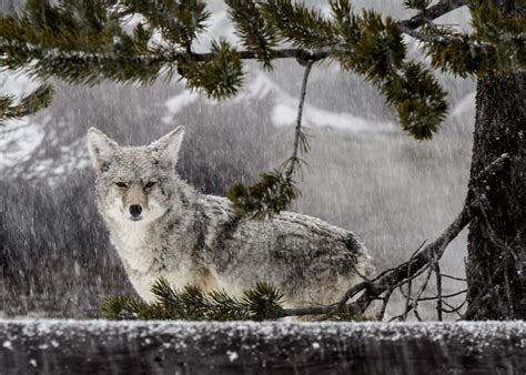 Facts About Coyote Cubs Apexwallpapers Com | pligg suivre newhairstylesformen2014 com