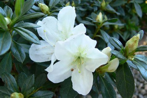 Azalea White white lace sperling nursery gift shop